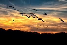 wild geese 1.jpg
